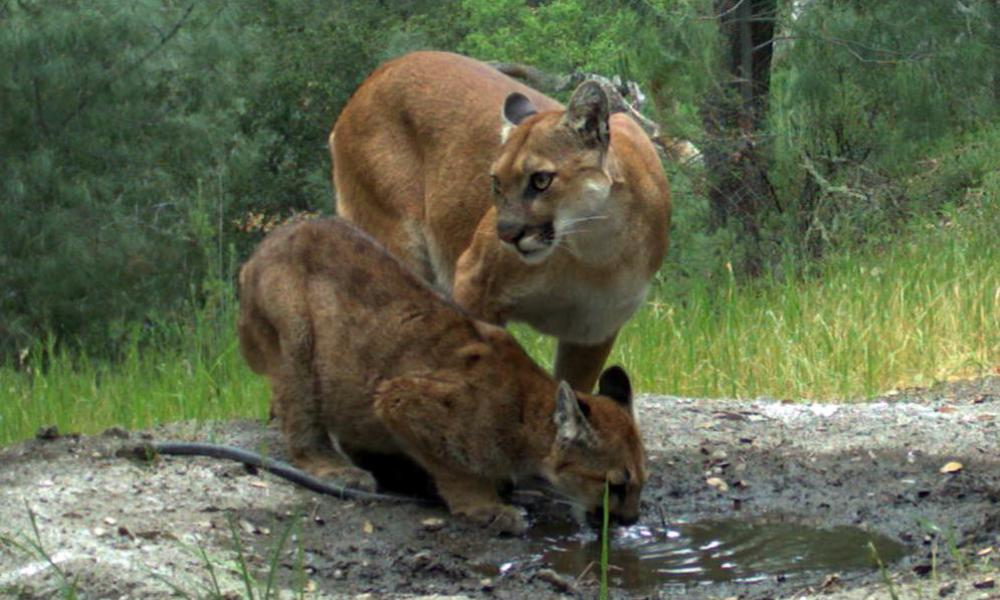 Mountain lions drinking at Sedgwick